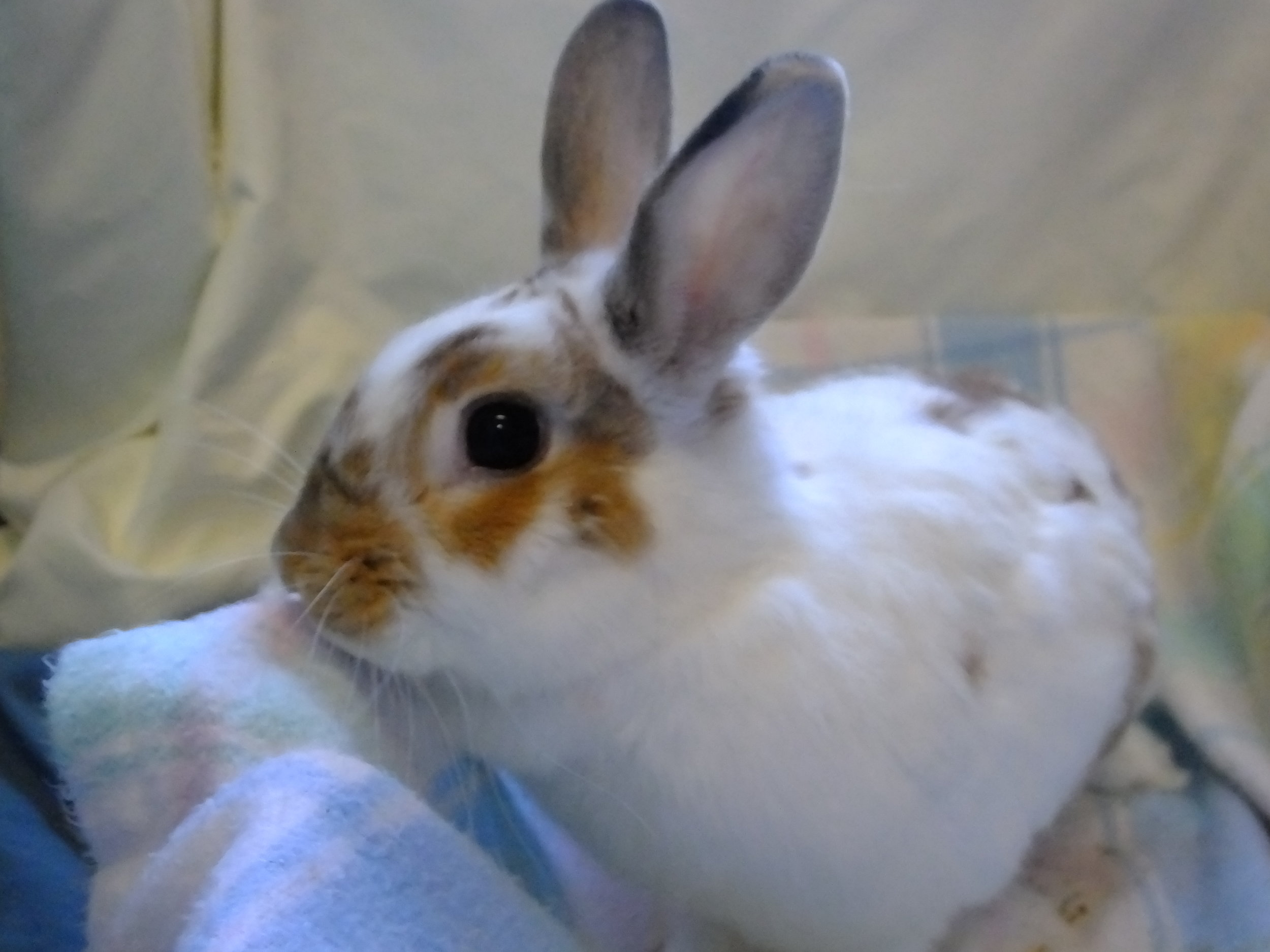 Domestic rabbit 17-0257 (f) (4).JPG