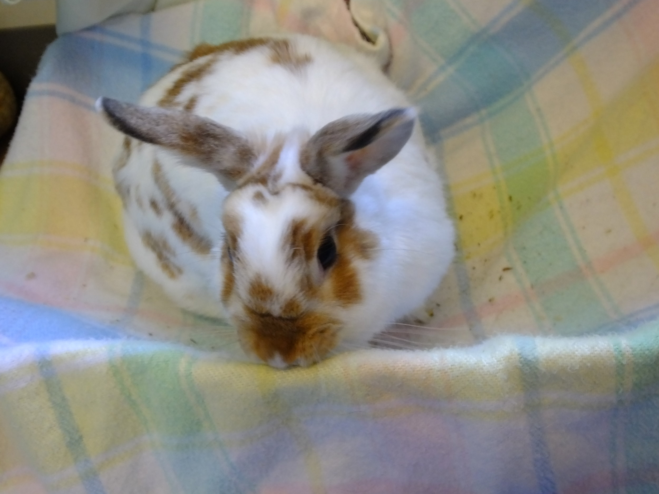 Domestic rabbit 17-0257 (f) (15).JPG