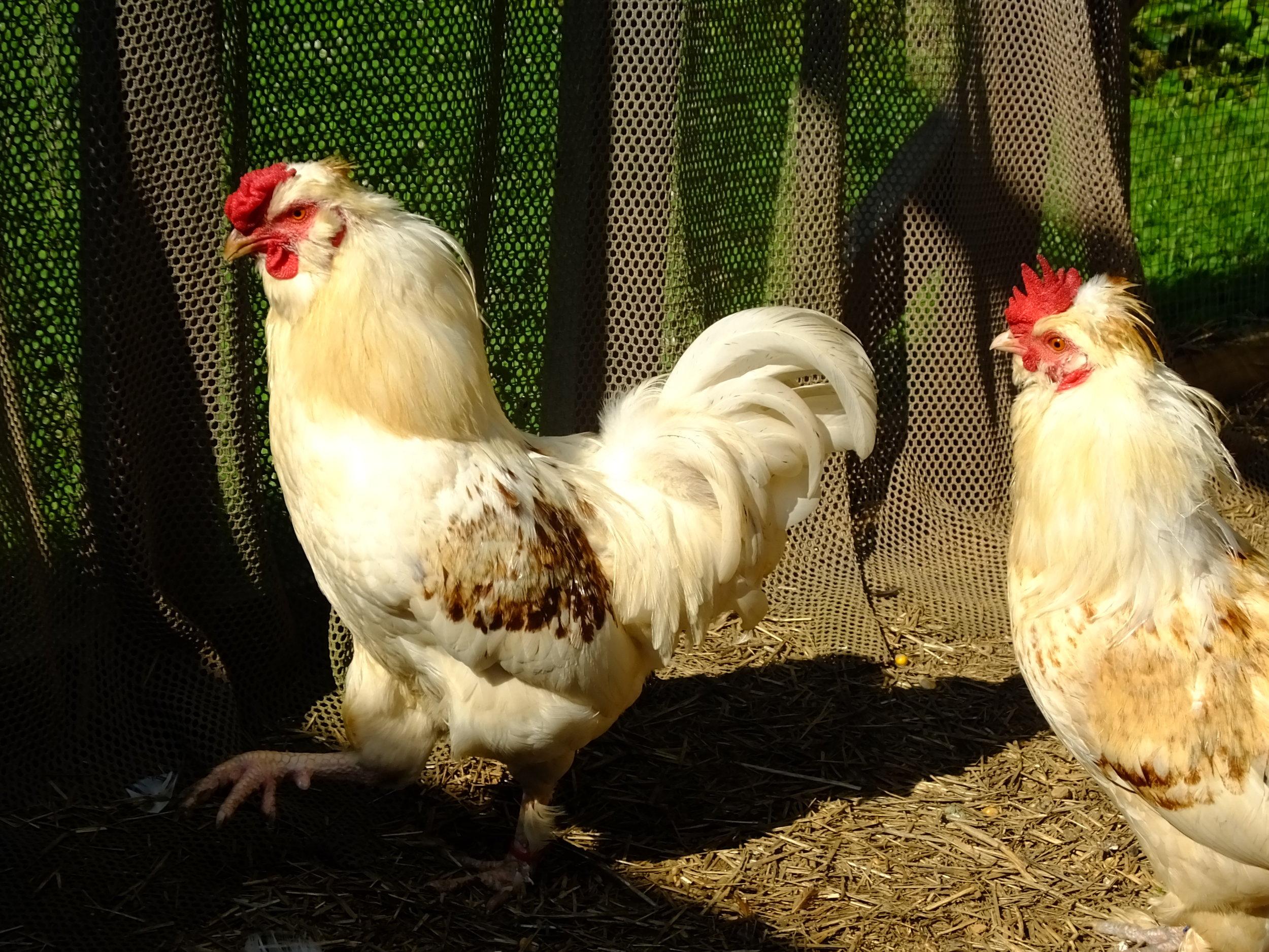 Rooster 17-0320(30).JPG