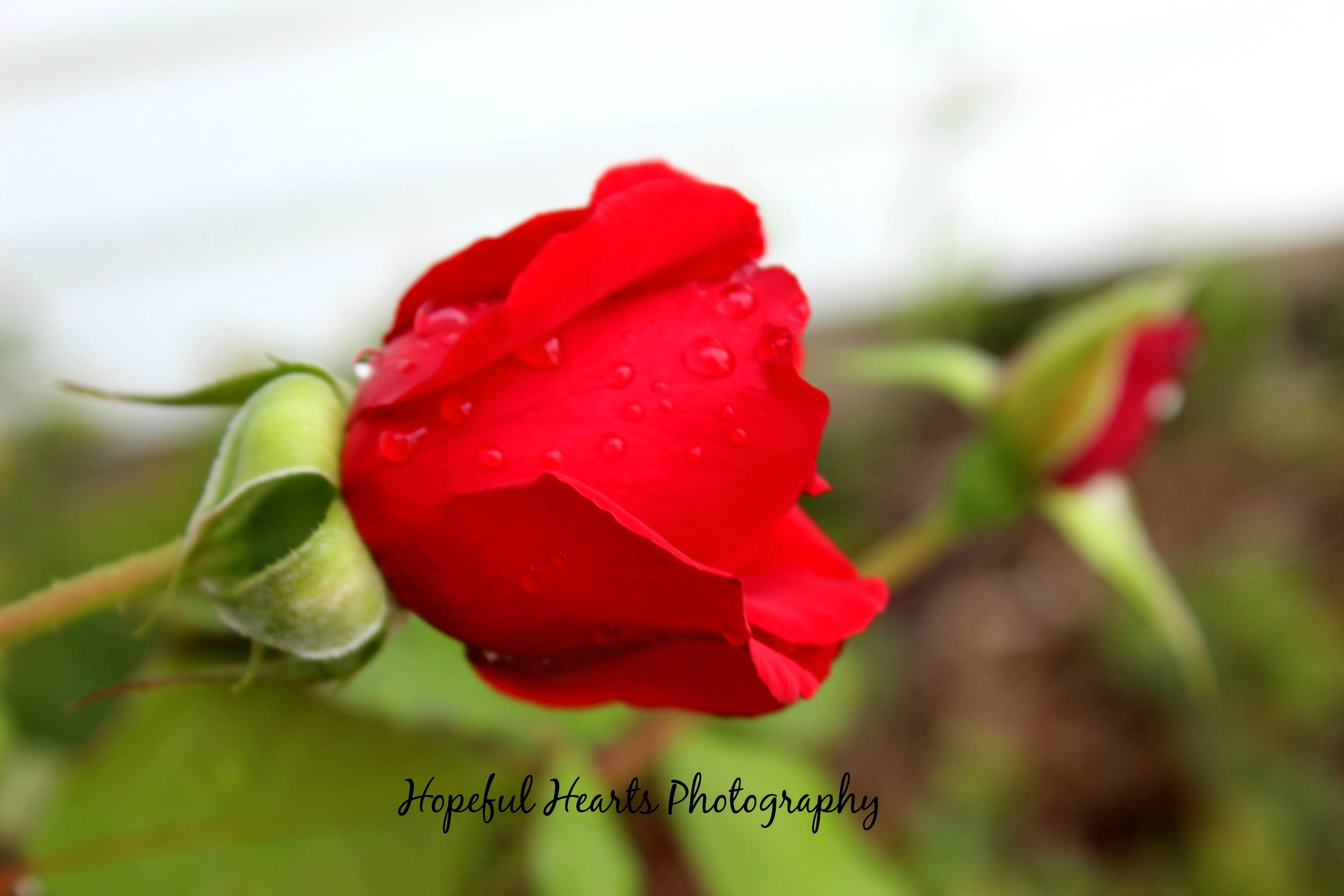 Close up of rose with rain droplets, hh sig.jpg