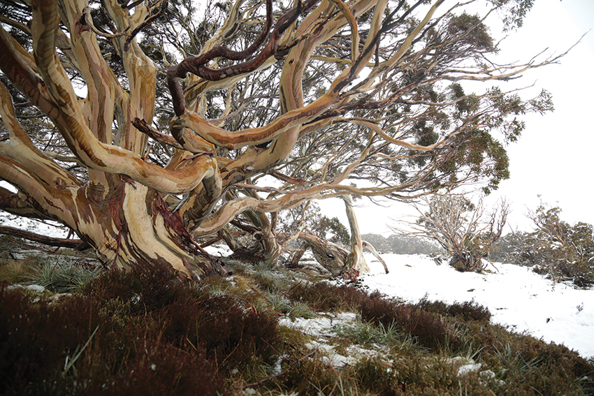 Snow Gum BEst Still.JPG