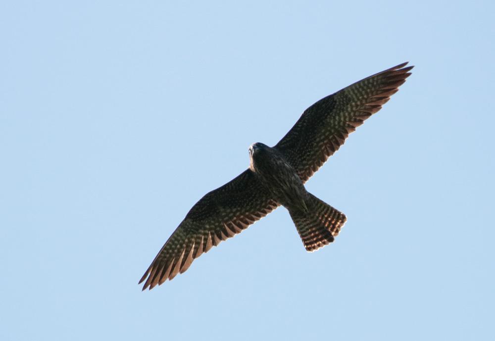 Eleonora's Falcon. Photo by Bjorn Alards.