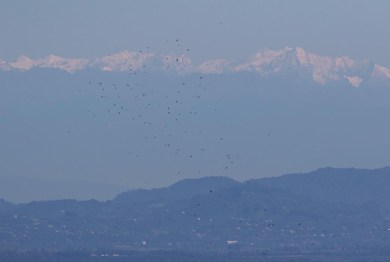 A flock of Black Kites. Photo by John Wright.