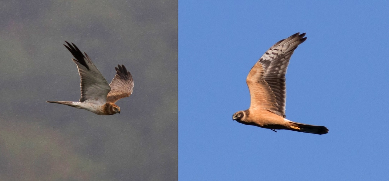 Pallid Harriers. Photo by John Wright.