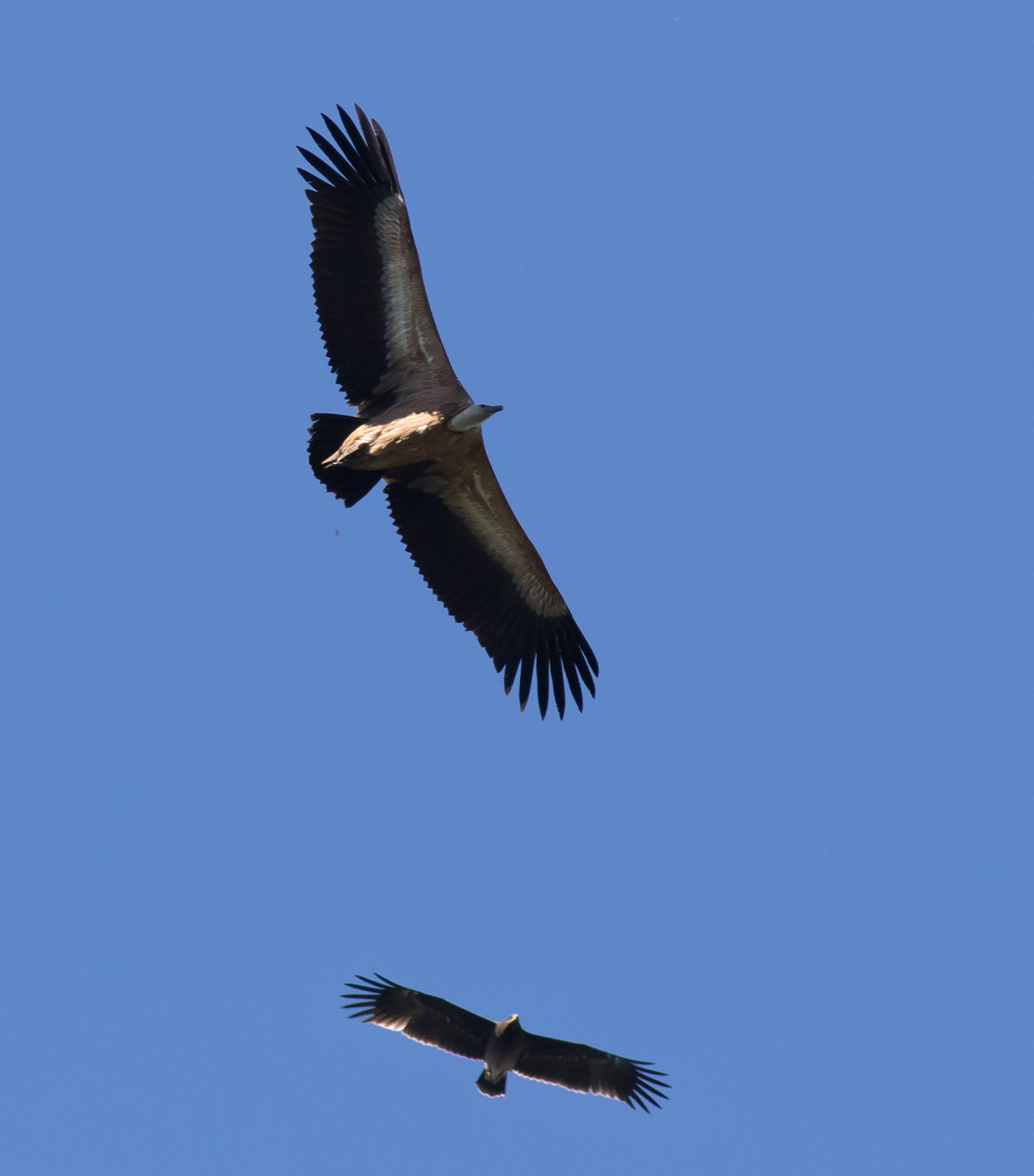 Griffon Vulture. Photo by John Wright.
