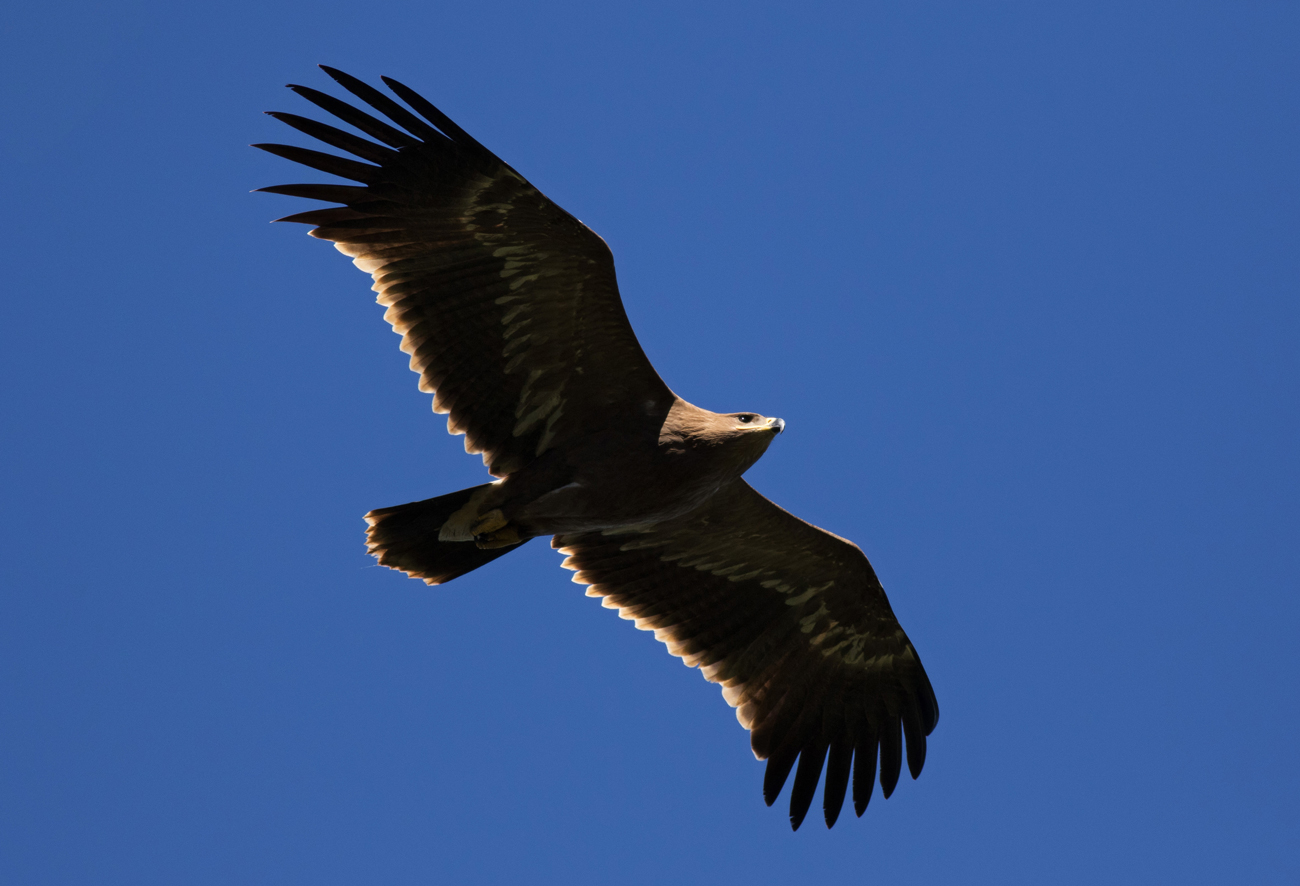 Juvenile Steppe Eagle. Photo by John Wright.