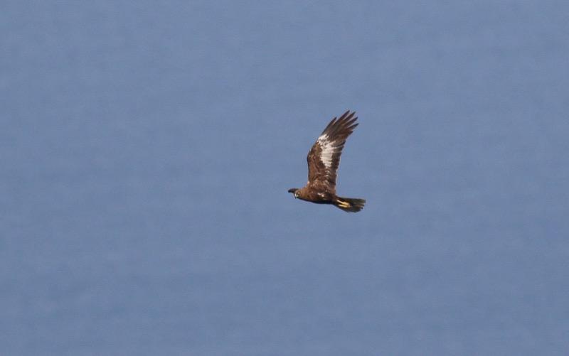 Marsh Harrier adult male dark morph. Photo by John Wright.