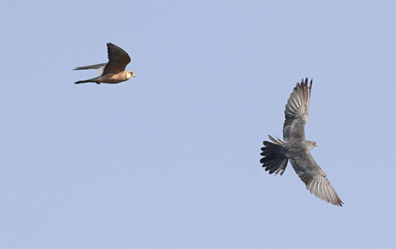 Great show put up by a flock of Red-footed Falcons. Photo by Clément Rollant.