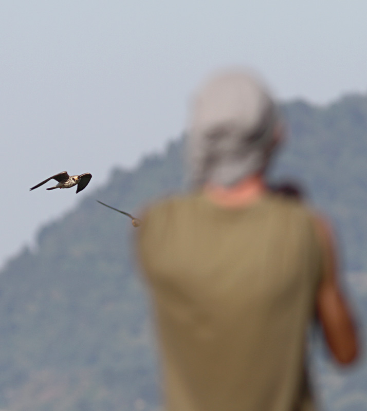 Red Footed Falcon and one Filiep. Photo by Clément Rollant.