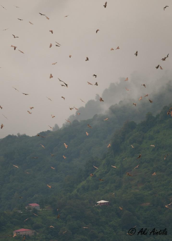 Massive migration of Honey Buzzards. Photo by Aki Aintila.