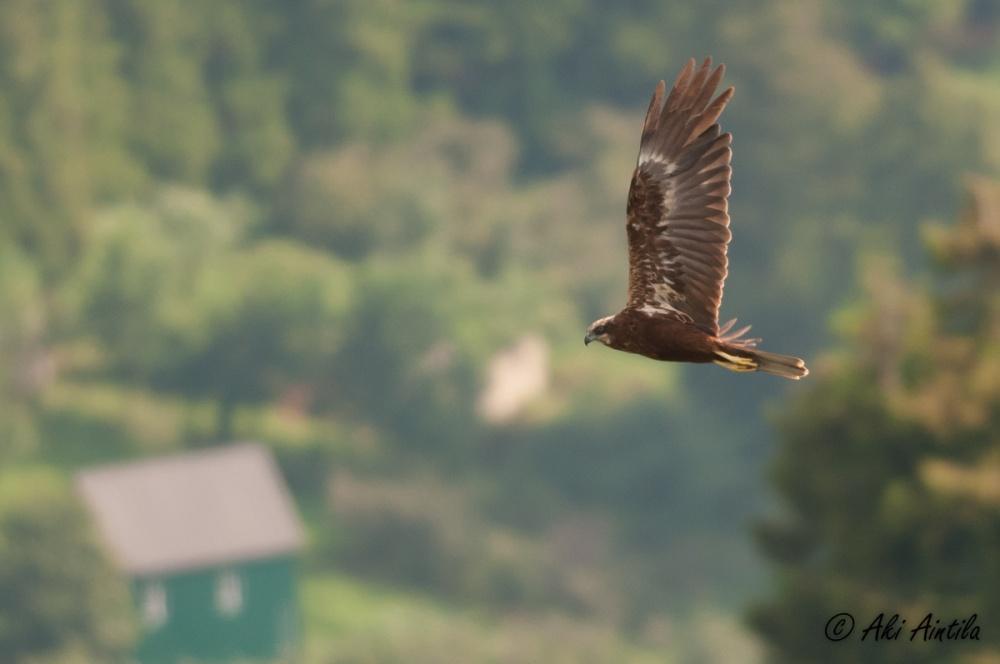 Marsh Harrier. Photo by Aki Aintila.