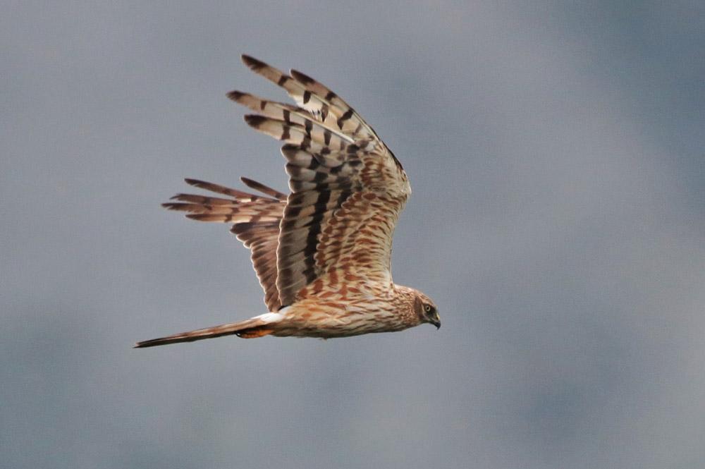 Montagu's Harrier. Photo by Bjorn Alards.