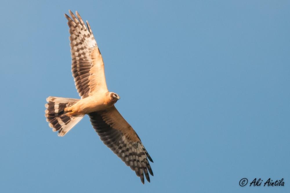 Pallid Harrier. Photo by Aki Aintila.