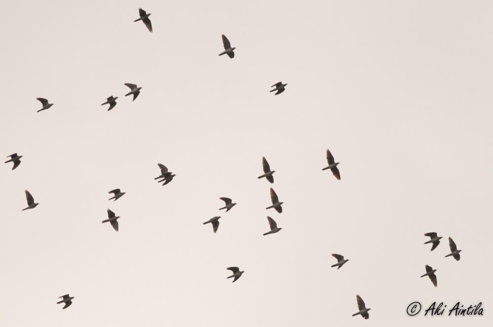 European Turtle Doves. Photo by Aki Aintila.