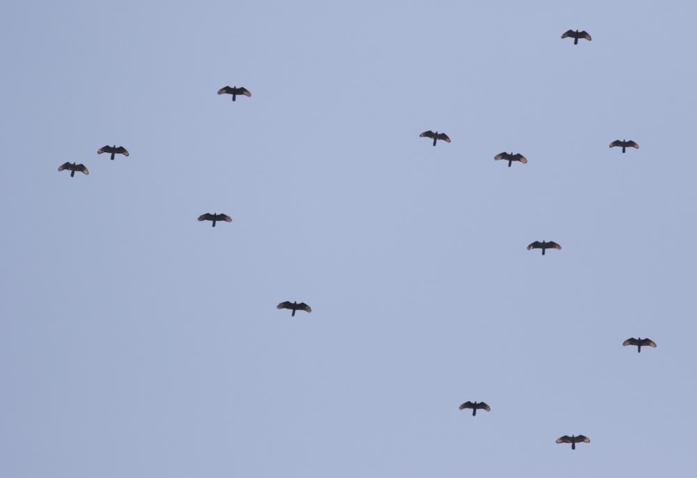 Steady stream of Honey Buzzards overhead. Photo by John Wright.