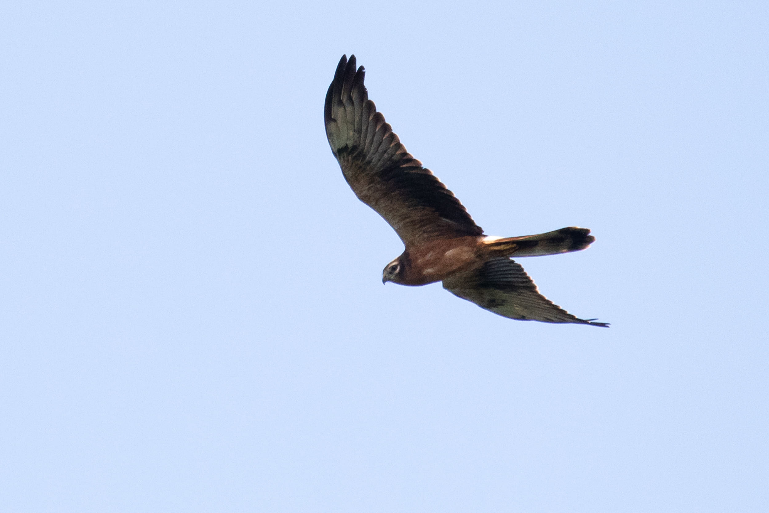 Juvenile Montagu's Harrier. Photo by Bart Hoekstra.