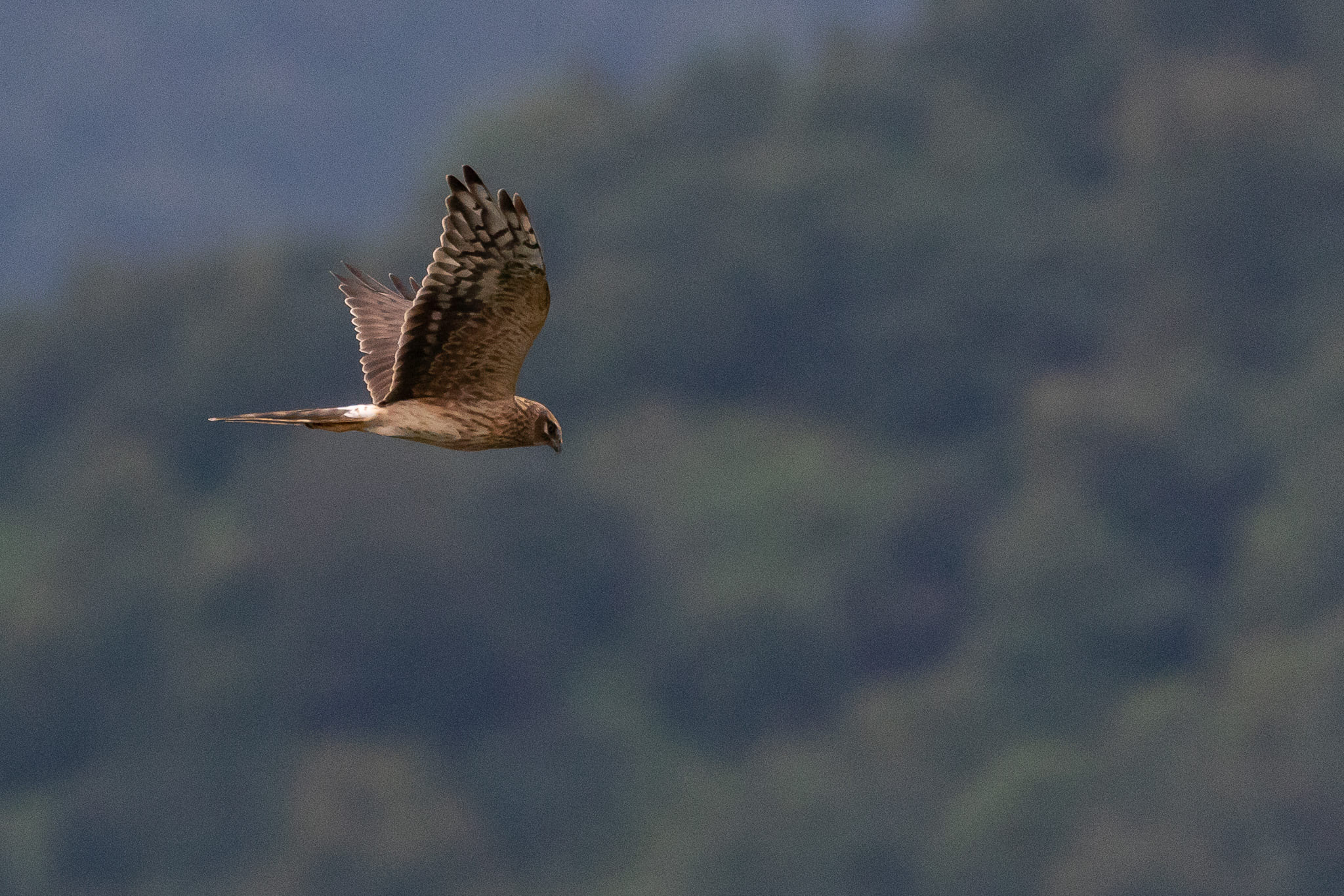 Adult female Pallid Harrier. Photo by Bart Hoekstra.