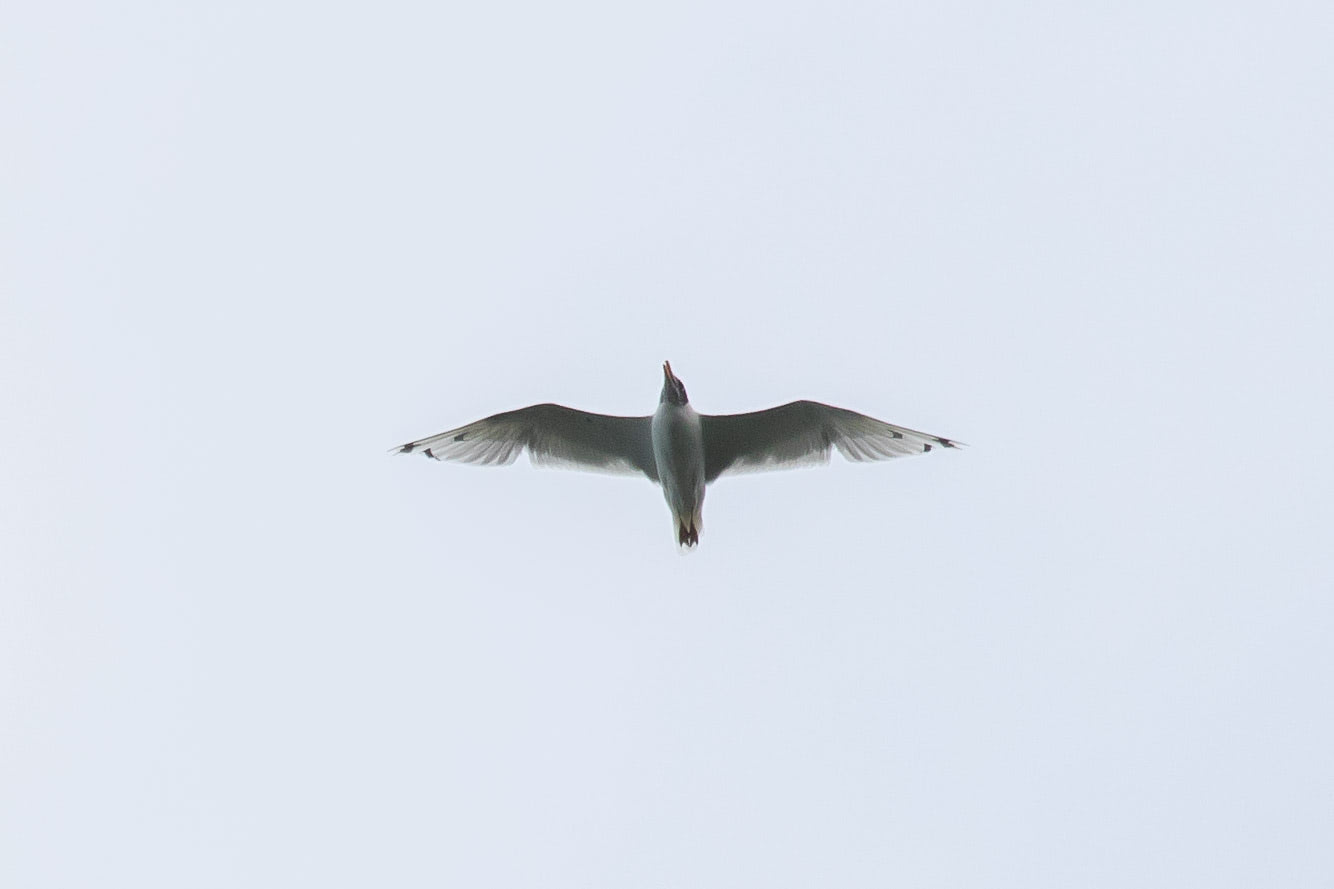 A Pallas' Gull flew over our heads and many bimbo bells rung. Photo by Bart Hoekstra.