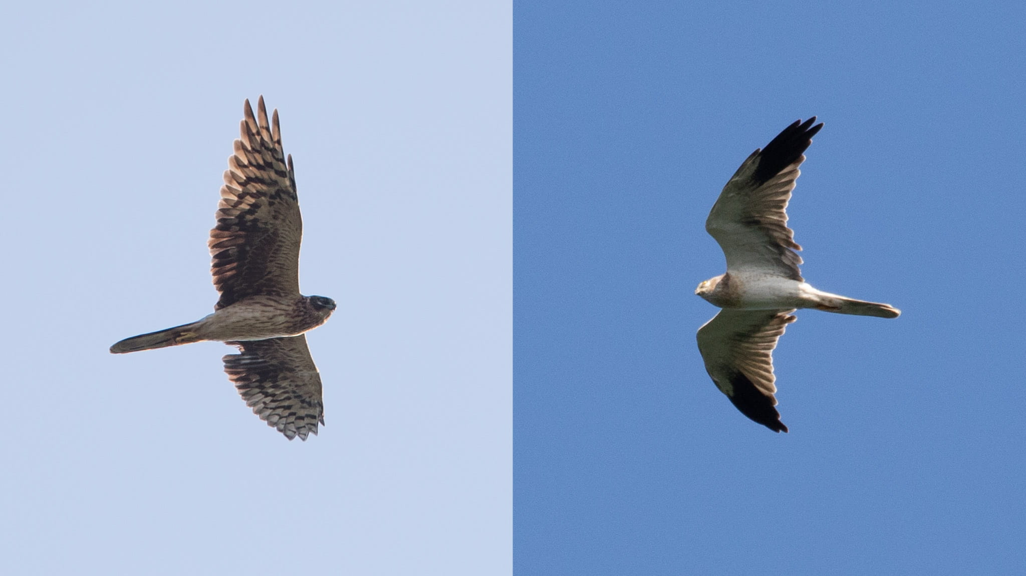 Immature Pallid female (left) and immature Pallid male (right), both still moulting their secondaries: a strange phenomenon we are not used to recording so often. Photos by Frits Hoogeveen (left) and Bart Hoekstra (right).