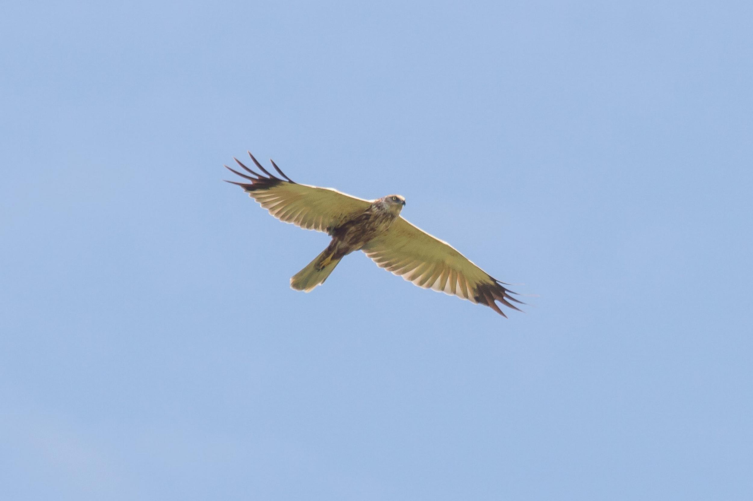 Adult Male Marsh Harrier. Photo by Tohar Tal.