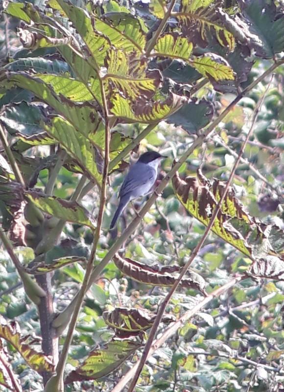 Sardinian Warbler at Chorokhi Delta on 10th of October. Photo by Jos Koopman.