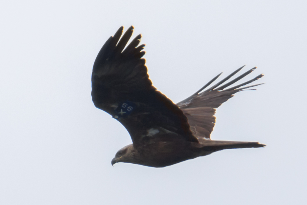 Black Kite (X99) with wingtags and transmitter. Photo by Wim Bovens.