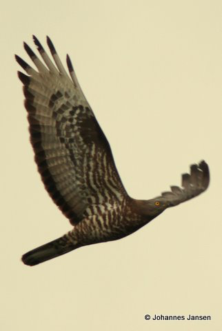 An adult Honey Buzzard makes it's way south…