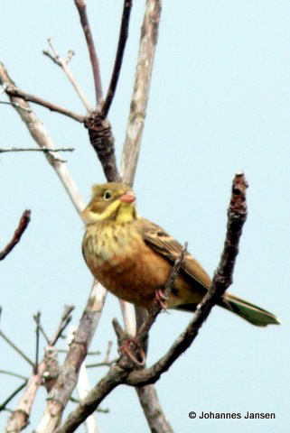 Many migrating passerines like this Ortolan Bunting stop for a quick break in the tree tops around the counting stations
