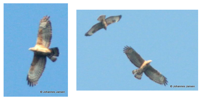 An adult female Oriental Honey Buzzard - Pernis ptilorhynchus - Batumi Sept 9th 2010