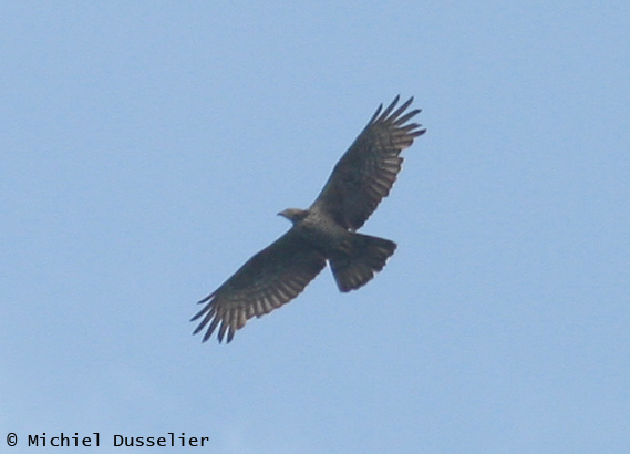 Adult female Crested Honey Buzzard - Pernis ptilorhynchus - Batumi, Sept 10th 2010