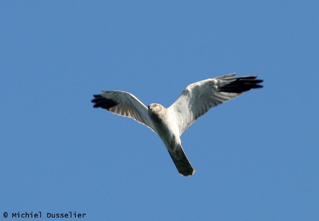 Adult male Pallid Harrier - Circus macrourus