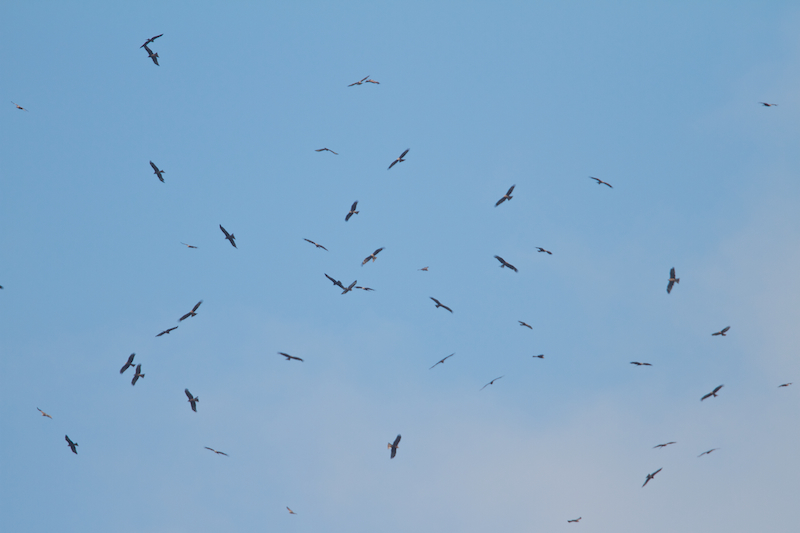 Part of typical flock of Black Kites - Milvus migrans. Flocking behaviour of these birds is often quite chaotic in comparison to that of buzzards. Photo by Freek Verdonckt
