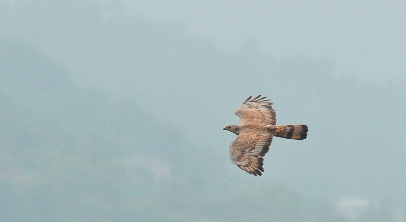 Adult male Oriental Honey Buzzard - Pernis ptylorhynchus - Photo by Jan Ranson