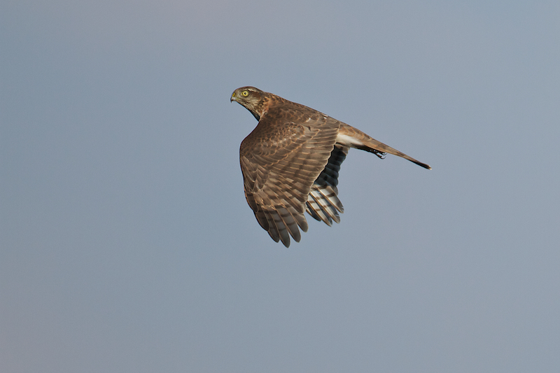 Many hundreds of Sparrowhawks are currently entertaining our counters in Batumi - Photo by Freek Verdonckt