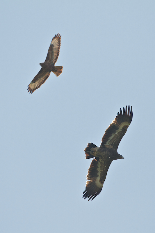 Steppe Eagle - Aquila nipalensis - with a Steppe Buzzard - Buteo buteo vulpinus - Photo by Freek Verdonckt