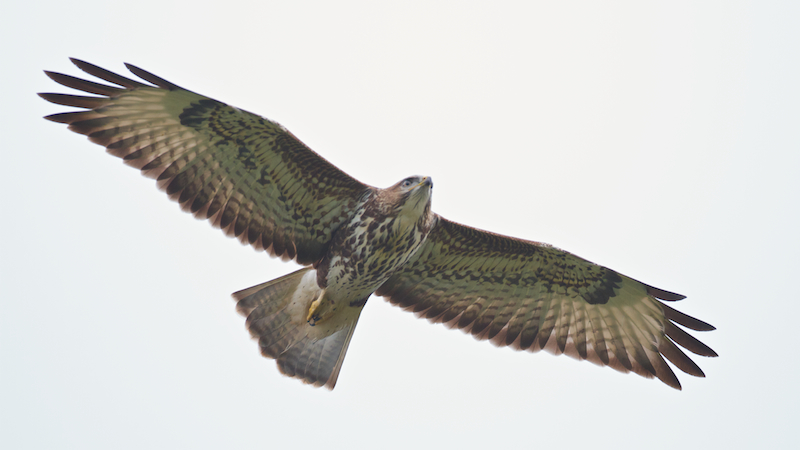 A juvenile Steppe Buzzard. This species continues to migrate far into October. Photo by Freek Verdonckt.