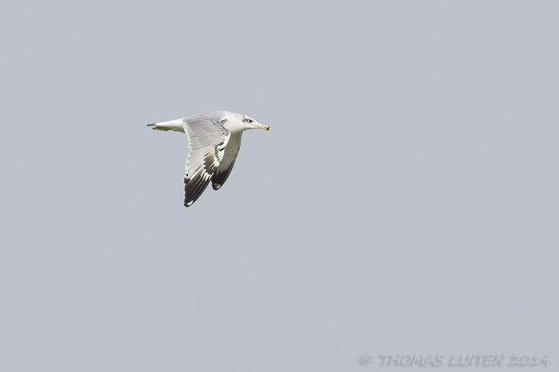 Pallas' Gulls (Thomas Luiten)