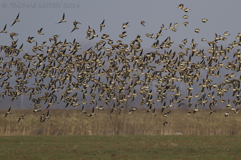 One of many flocks of Calandra larks in the area (Thomas Luiten)