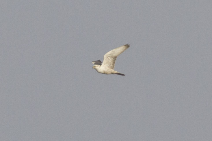 Record shot of one of the very Pale Saker Falcons (Thomas Luiten)