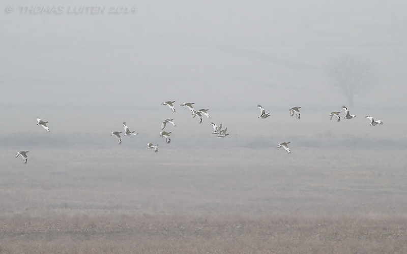 Small flocks of little bustards were present in the Alazani Valley (Thomas Luiten)