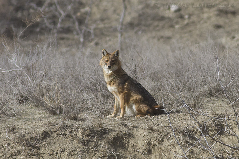 Golden Jackals are common in the area (Thomas Luiten)