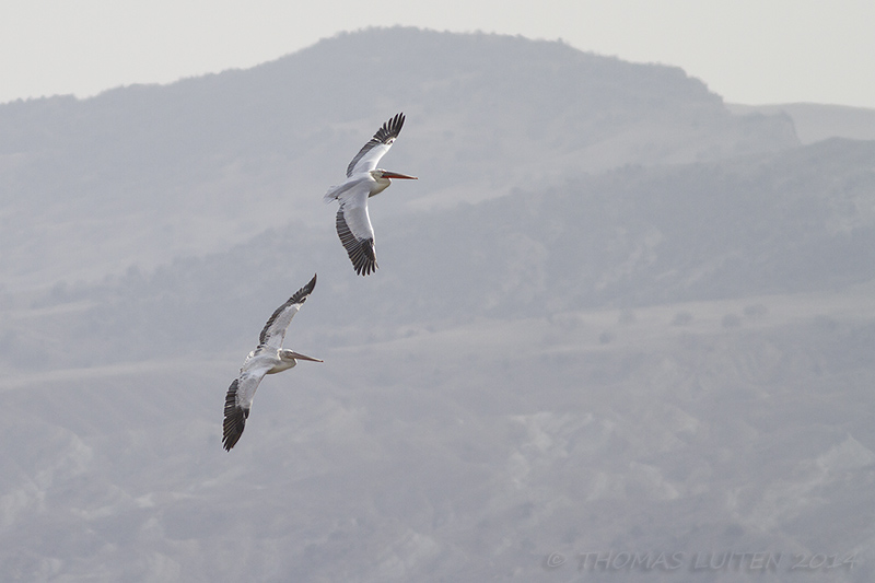 Dalmatian Pelicans over the Dali reservoir (Thomas Luiten)