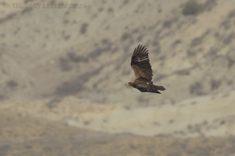 An adult Steppe Eagle passing by, an early migrant (Thomas Luiten)