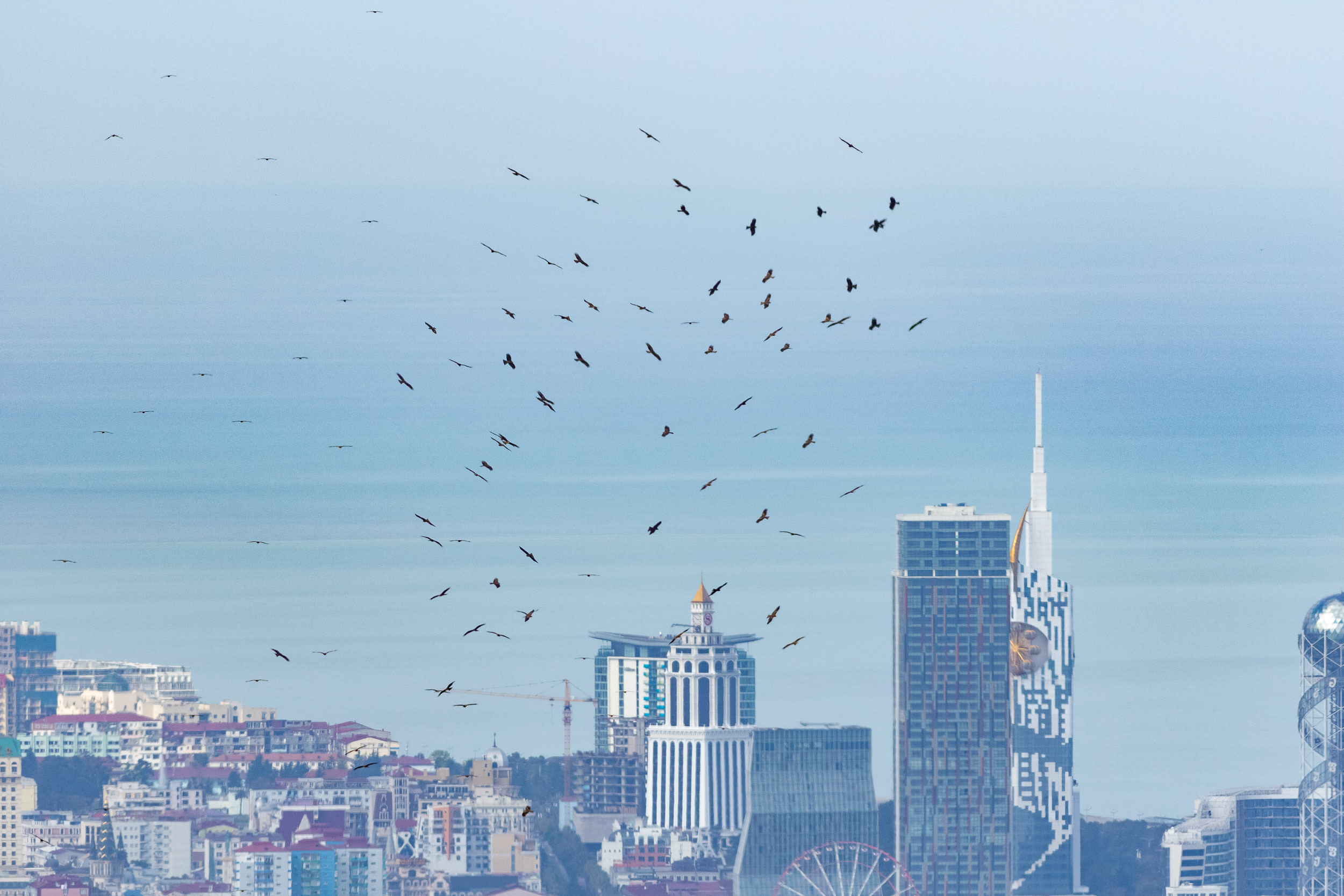 Black Kites in front of the Batumi skyline. Photo by Diego Jansen.