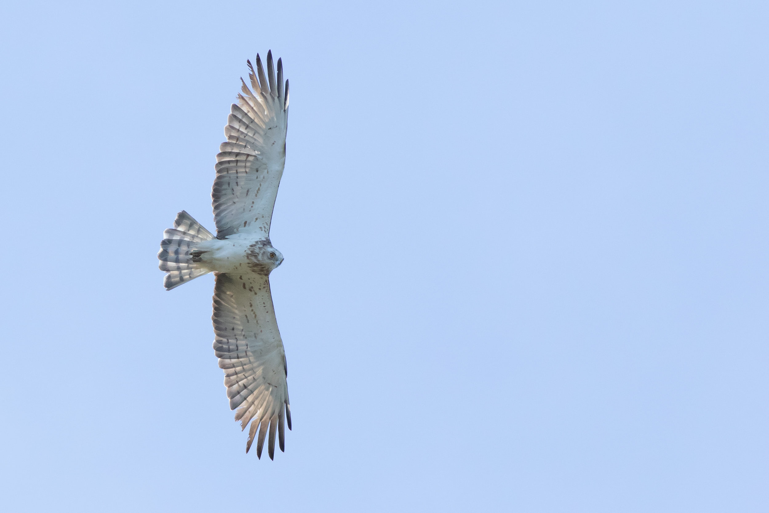 Short-toed Eagle passing by closely. Photo by Diego Jansen.