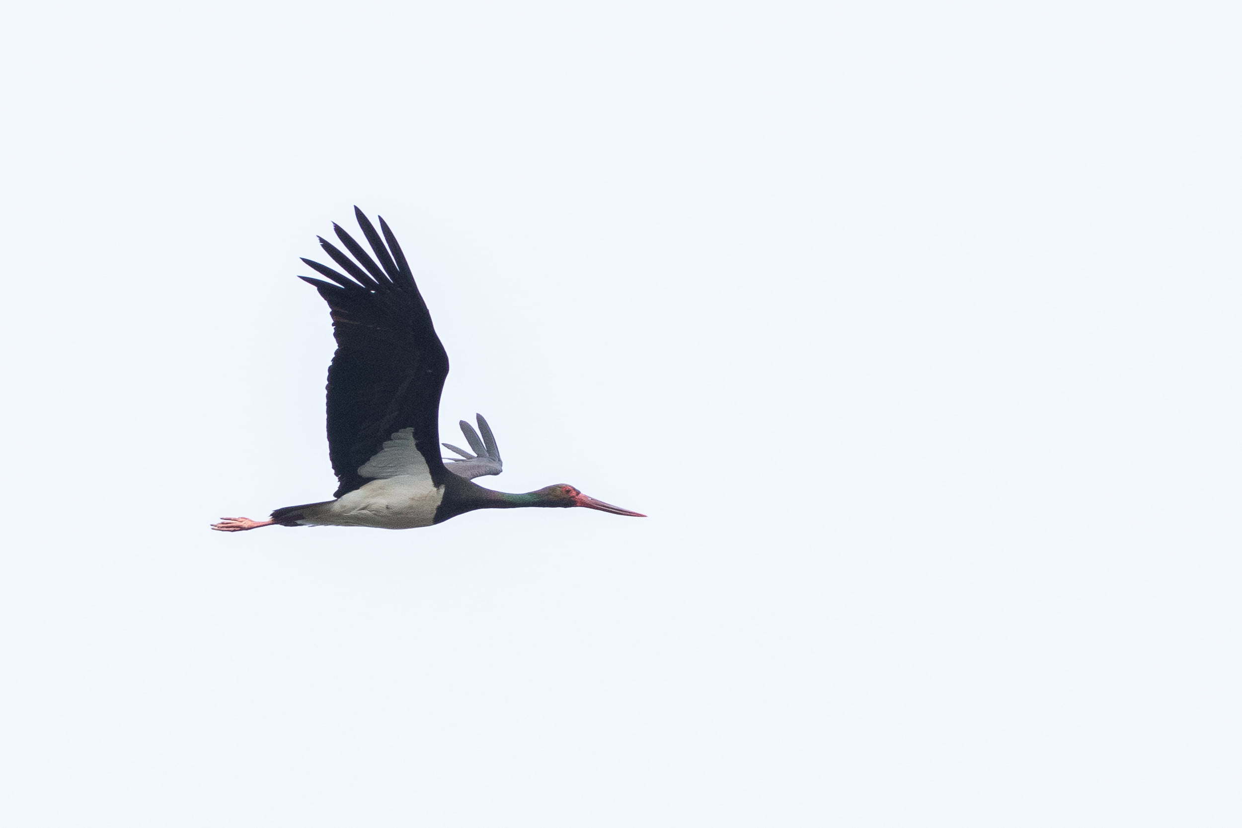 In autumn adult Black Storks don't look this neat anymore. Photo by Diego Jansen.