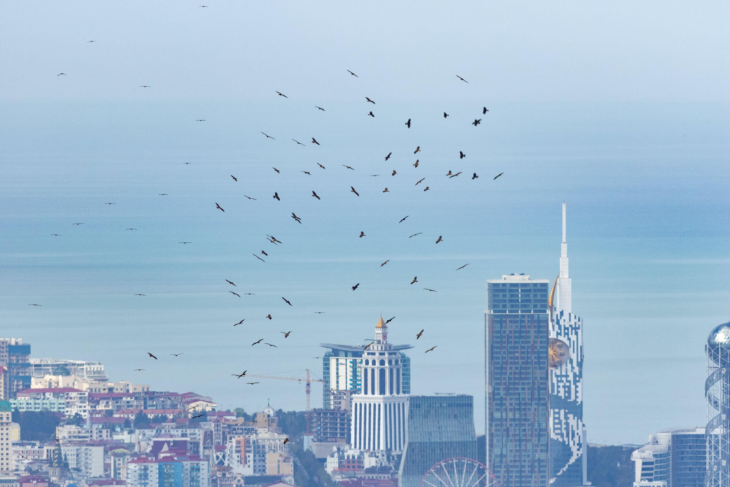 Black Kites in front of the Batumi skyline. Photo by Diego Jansen.