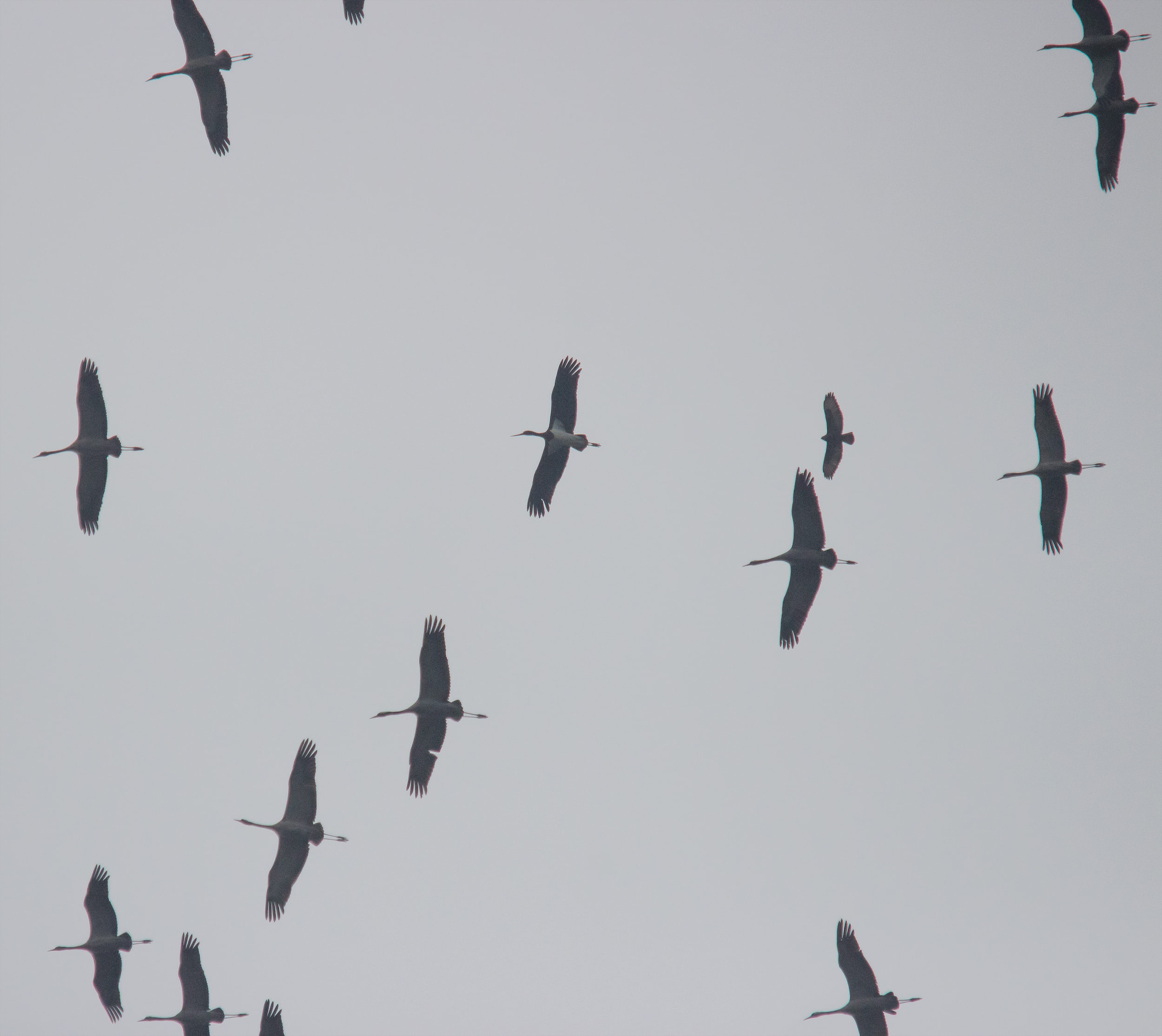 A Black Stork and Steppe Buzzard joining a flock of 60+ Common Cranes. Photo by Tohar Tal.