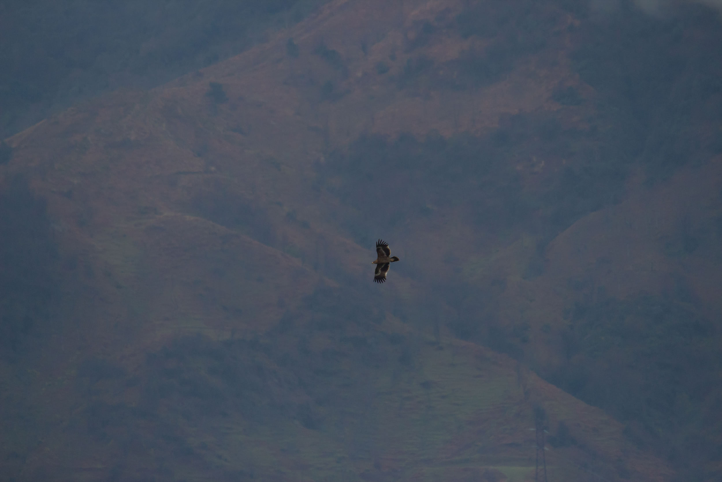 Steppe Eagle. Photo by Tohar Tal.