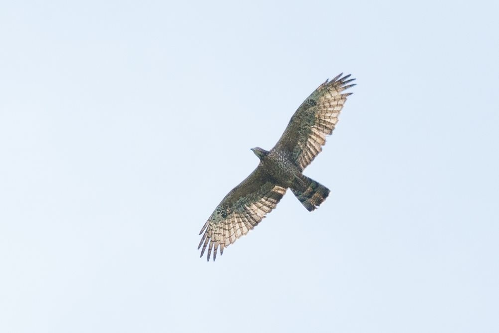 Always special to see a Crested Honey-Buzzard. Photo by Marijn Prins.